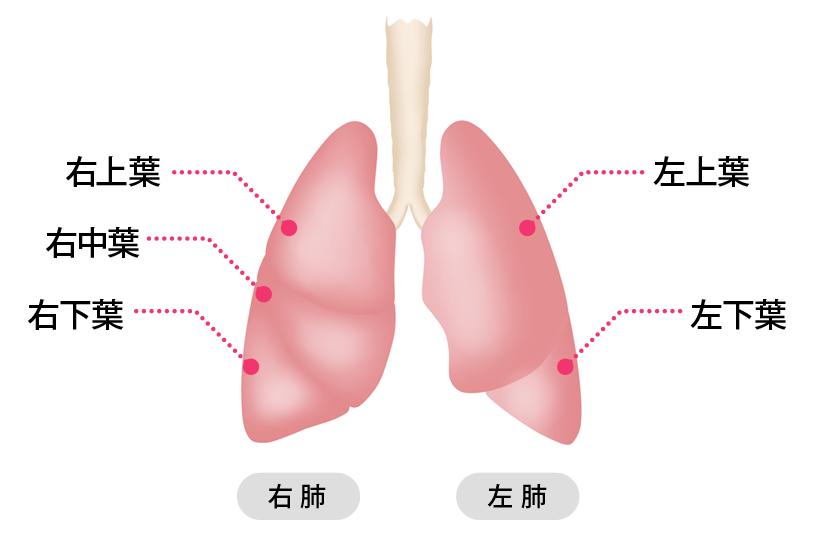 正常呼吸音または異常呼吸音が聴こえるのは肺のどの部位ですか?