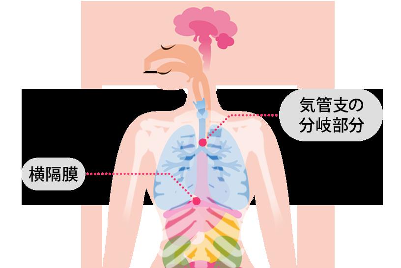 気管支の分岐する位置、横隔膜の位置も知っておこう!