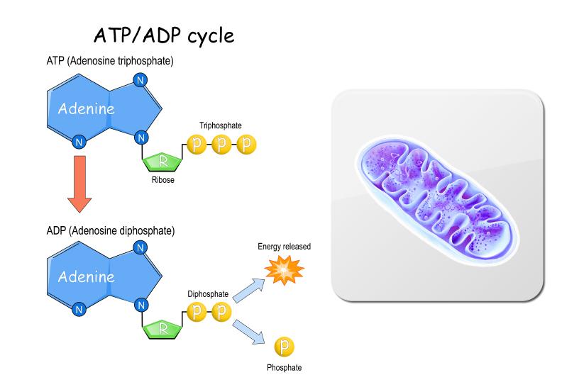 ミトコンドリアとATP/ADP