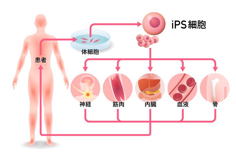 iPS細胞はさまざまな細胞へ分化します