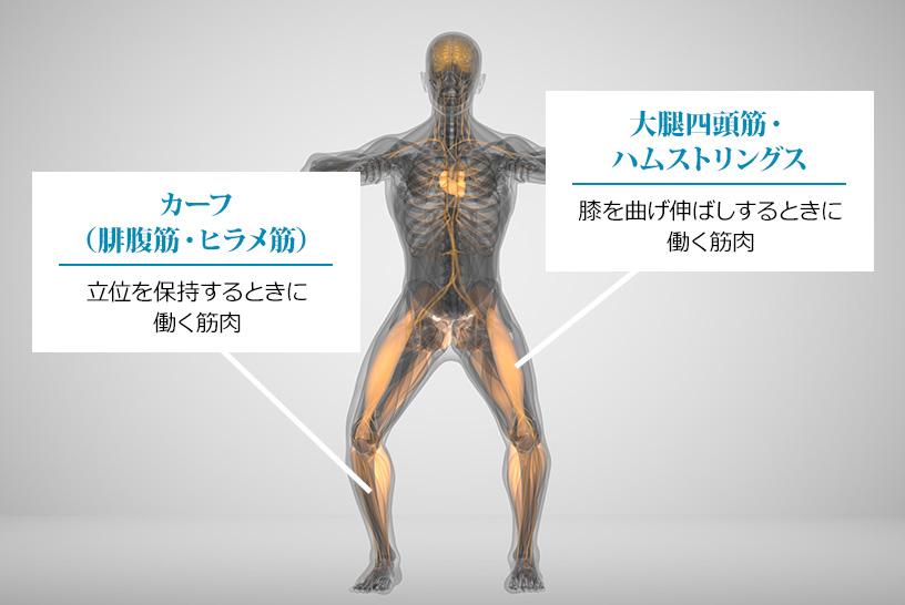 下半身の筋肉にはどのような作用がある?下半身の筋肉に適切な筋トレマシンをご紹介
